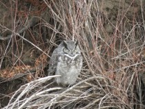 Napping Great Horned Owl in a creek bed