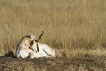 Napping Pronghorn Buck Eastern Montana