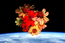 NASA astronaut Scott Kelly harvested his space grown Zinnias on Valentines Day Feb   aboard the International Space Station Credit NASA Scott Kelly