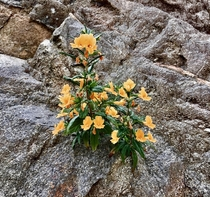 Native wildflower the Monkey Flower Diplacus auranthiacus clinging to a rocky ledge in the San Rafael Hills of Southern California