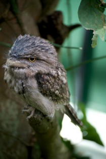 Natures take on Angry Birds The Australian Frogmouth  x