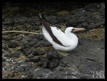 Nazca booby - Galapagos Islands