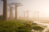 Near the city of Morondava on the west coast of Madagascar lies an ancient forest of baobab trees Unique to Madagascar the endemic species is sacred to the Malagasy people and rightly so Some of the trees here are over a thousand years old It is a spiritu