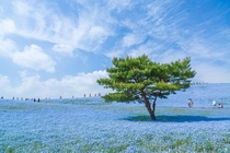 Nemophila menziesiia California wildflower commonly known as baby blue eyescarpet the hills at Hitachi Seaside Park in Japan Hiroki Kondo