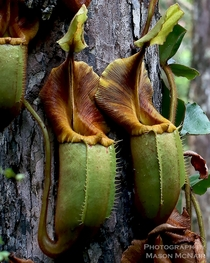Nepenthes veitchii from the Maliau Basin Borneo