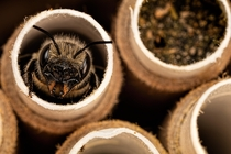 Nesting Female Red Mason Bee