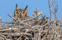 Nesting great horned owl Bubo virginianus at Fort De Soto Park in Florida