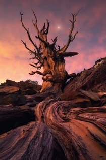 Nestled in the White Mountains of California are the ancient Bristlecone Pines the oldest living organisms on Earth Photo by Victor Carreiro