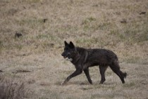 Never Cry Wolf in Yellowstone Canis lupus