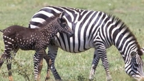New born Zebra with Polka dots