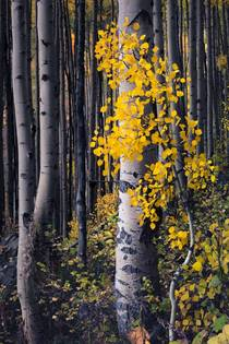 New Growth Aspen  Near Maroon Bells CO  Michael Rung   Captured September