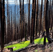 New growth in burnt forest Triangulation Peak OR