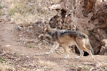 New Mexico gray wolf