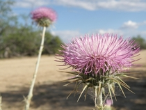New Mexico Thistle Cirsium neomexicanum north of Wickenburg Arizona