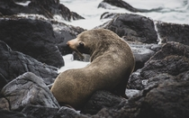 New Zealand Fur Seal Boulder Beach Otago Peninsula
