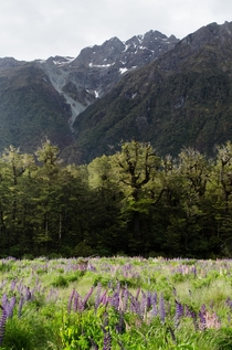 New Zealand in layers lupines forest mountains