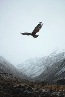 New Zealand Kea the worlds only alpine parrot - Arthurs Pass New Zealand