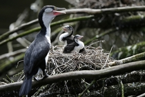 New Zealands Ambitious Plan To Save Birds Kill Every Rat -- In this March   photo two shag chicks sit on a nest with their mother at Zealandia in Wellington New Zealand Photo credit Mark Baker  AP Photo