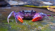 Newly discovered purple crab found in the Philippines Photograph courtesy Hendrik Freitag