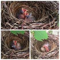 Newly hatched Northern Cardinal chicks