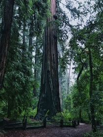 Nice rainy day walk in Big Basin Redwoods State Park CA