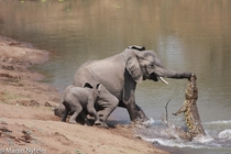 Nile crocodile Crocodylus niloticus attacks a mother elephant Loxodonta cyclotis in Zambia photo by Martin Nyfeler