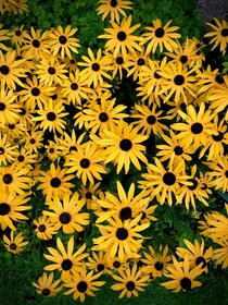 No From the series Darling dont photograph the perennial bed its a mess  Black Eyed Susan