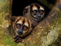 Noisy Night Monkeys Ecuador