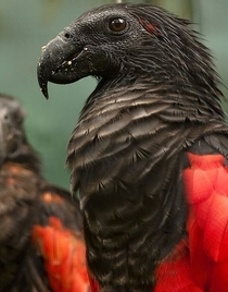 Nope its not any sort of Eagle or Vulture its just a Parrot Pesquets Parrot also known as Dracula Parrot