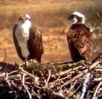North American Ospreys prepping their nest Took this using an Iphone and a teliscope