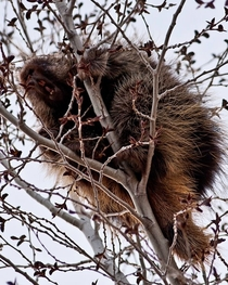 North American Porcupine in a tree near Steamboat Springs CO - OC -