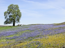North Table Mountain Ecological Reserve Butte County CA-A Lone Oak Tree in a Sea of Wildflowers OC