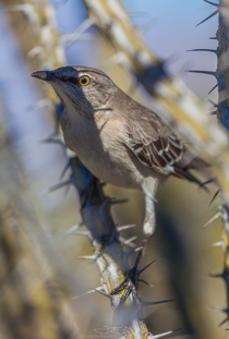 Northern Mockingbird Mimus polyglottos mockingly hiding from me in his fortress
