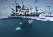 Norway - a Killer Whale is attracted by the sounds of a Fishing Boat by Audun Rikardsen