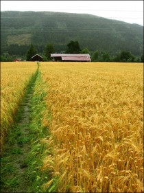 Norwegian wheat fields
