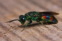 Not all wasps are yellow Heres a multi-colored Cuckoo Wasp