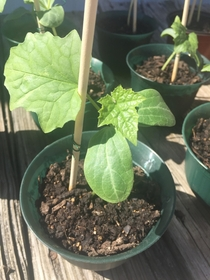 Nothing fancy or exotic but I simply adore the perfection of my Luffa Gourd seedlings first few proper leaves So tiny and shiny and vivid