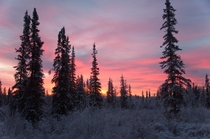 November sunrise in sparse boreal forest after a light snow  Fairbanks AK