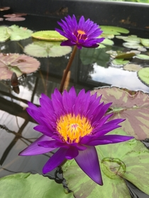 Nymphaea Tanzanite Tropical day blooming