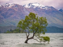 O The Lone Tree of Wanaka Where Does Your Heart Lie