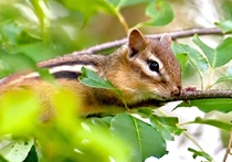 OC Im ready for my closeup says Mrs Chippy the most photogenic of my backyard Eastern Chipmunks Tamius Striatus