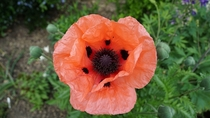 OC Papaver Orientale Oriental Poppy UK The leaves look like crimpled tissue paper
