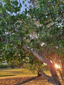 OC- the last sun of the summer setting over a local fig tree that i have been visiting for over  years Hobart Australia