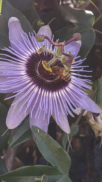 OC This bee getting pollen on its butt- the unique stamen of the passion flower