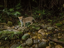 Ocelot Peru photo by Charlie Hamilton James