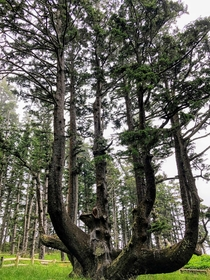 Octopus Tree Sitka Spruce - Cape Meares OR - me