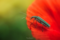 Oedemera nobilis on Poppy