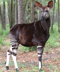 Okapi the endangered forest giraffe of the Congo