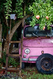 Old classic Fiat  underneath a pomegranate tree