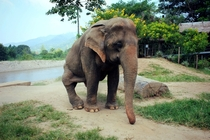 Old elephant rescued from the logging industry